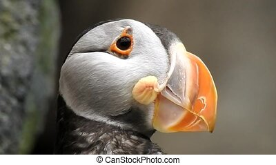 Puffin Seabird In Wild