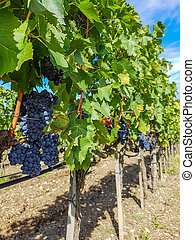viña, rojo, uvas