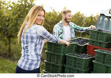葡萄, 收穫