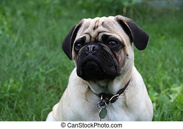 Pug Pup - Purebred Pug Pup on grass background
