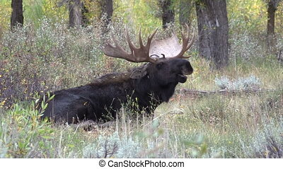 Bull Moose Bedded - a bull shiras moose bedded