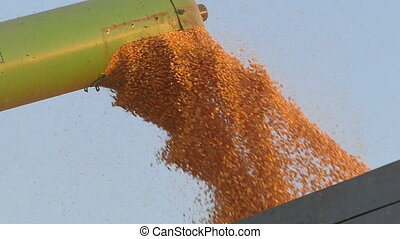 Corn harvest, grain auger of combine pouring crop, slow...
