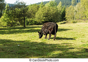 Black Cow grazing on green grass on a background of bright...