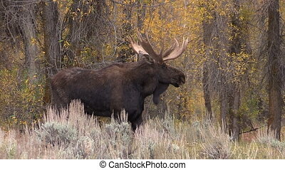 Bull Shiras Moose - a bull shiras moose during the fall rut