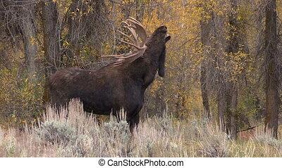 Bull Shiras Moose in Rut - a bull shiras moose during the...