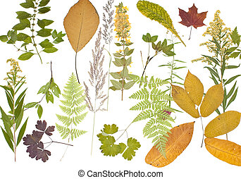 Herbarium. - The dried plants for a herbarium on a white...