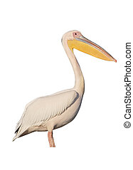 Great-white pelican, Pelecanus onocrotalus, single bird by...