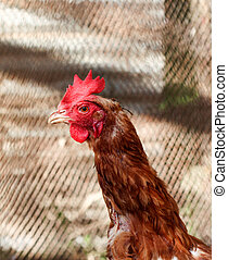 young rooster in a poutry cage