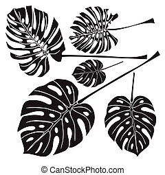Silhouette tropical monstera leaves. Black isolated on white...