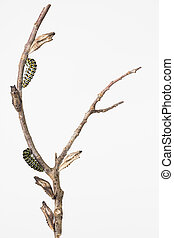 Butterfly larvae and pupae on branch