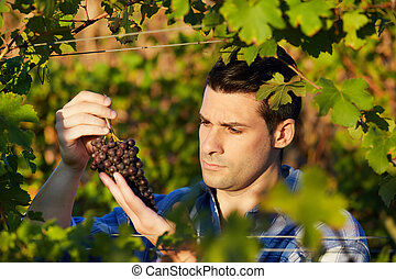 Young winemaker in vineyard picking blue grapes