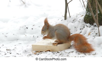 Squirrel jumping in the snow and gnaws nuts. Natural winter...