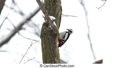 Woodpecker hollows a tree in search of insects under the...