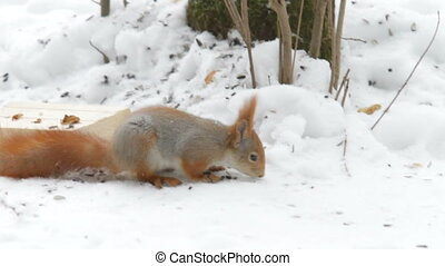 Squirrel jumping in the snow and gnaws nuts Natural winter...