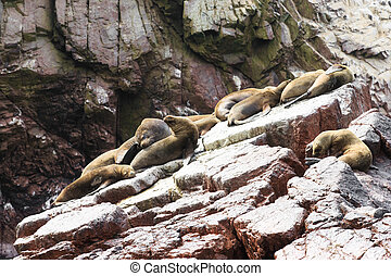 Sea lions fighting for a rock in the peruvian coast at...