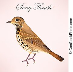 Illustration of song thrush