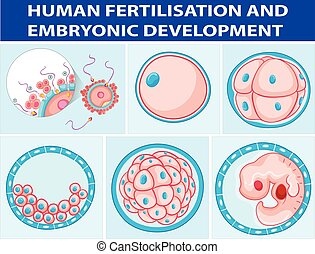 Diagram showing human fertilisation and embryonic...