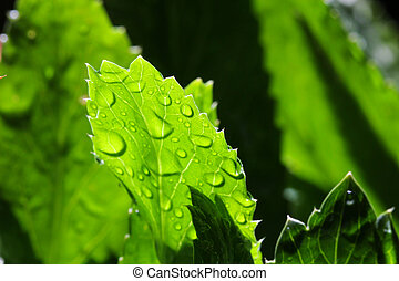 Close up coriander leaves