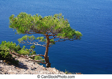 Ukraine. Crimea. The Black Sea. Pine tree next to the sea -...