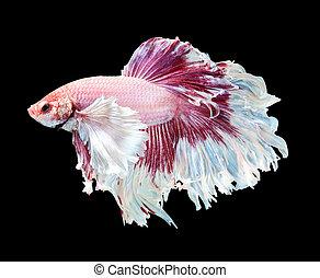 Betta fish, siamese fighting fish, betta splendens (Dumbo...