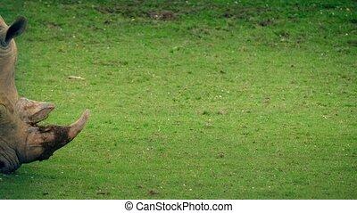 Rhino Walks Past Grazing - Large rhino walking past grazing...