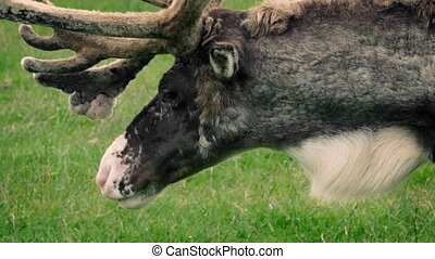 Reindeer Grazing In Meadow - Closeup of reindeer looking...
