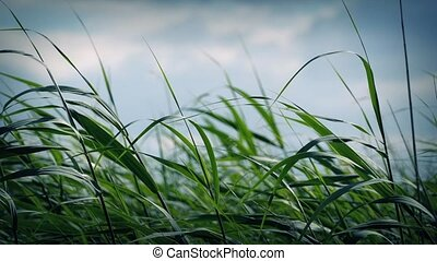 Long Grass Blowing In Wind
