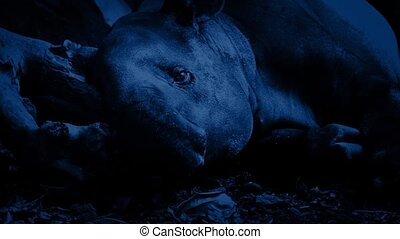 Tapir Resting In Jungle At Night - Tapir lying down in the...
