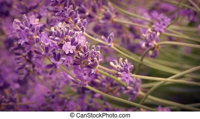 Lavender Flowers In Breeze - Macro shot of lavender flowers...