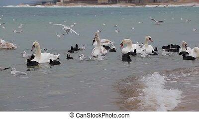 The swans, gulls and ducks in winter - Swans, seagulls and...