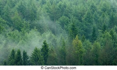 Mist Rising Slowly In The Forest - Wilderness forest with...