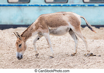 Persian onager (Equus hemionus onager), also known as the...