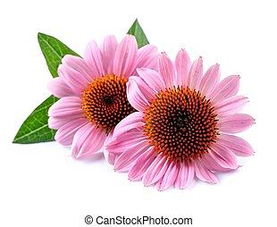 Echinacea flowers. - Echinacea flowers close up isolated on...