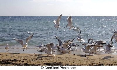 Swans on the coast - Swan and gulls flock of catching on the...