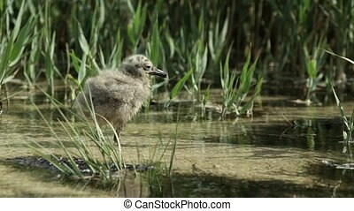 Nestling gulls in the reeds - Nestling gulls standing in the...