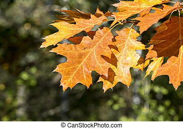 autumn yellow and orange maple tree leaves during fall season