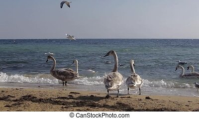 Swans on the coast - Swan flock to the coast and sea gulls...