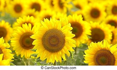 large field of sunflowers backlit - field of sunflowers...
