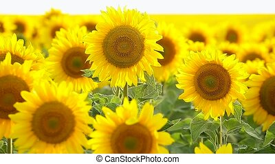 Sunflower field, backlit. closeup - Flowers sunflower...