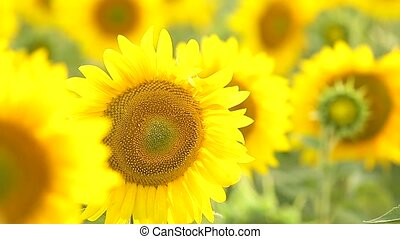 Sunflower field, backlit. - Field of sunflowers backlit....