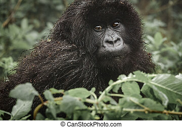 Young mountain gorilla in the forest - Front view closeup of...