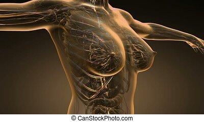 loop science anatomy scan of woman blood vessels glowing...