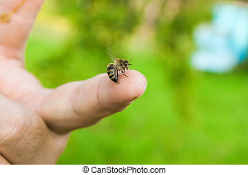 Bee stinging in the human finger of the hand. - Close up...