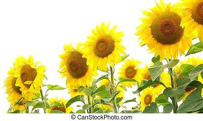 Sunflower field, backlit closeup - Flowers sunflower...