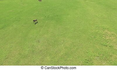 Flight above the green meadow with grazing horse. 4K 30fps