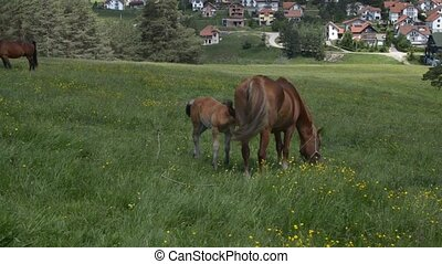 Foal and Mare in a Meadow - Mare grazing on mountain spring...