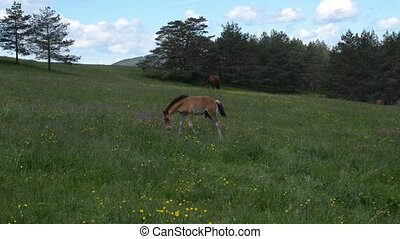 Foal in a Meadow - Foal grazing on mountain field with...
