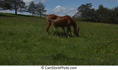 Brown Mare Grazing on a Spring Fiel - Brown mare grazing on...
