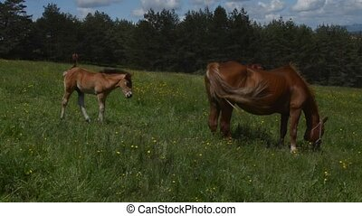Handheld Camera Shot of a Foal and mare - Handheld camera...