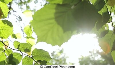 Green leaves in the wind - Sunlight breaks through the green...
